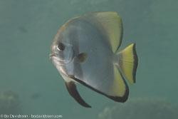 BD-111124-Raja-Ampat-5123-Platax-pinnatus-(Linnaeus.-1758)-[Dusky-batfish].jpg